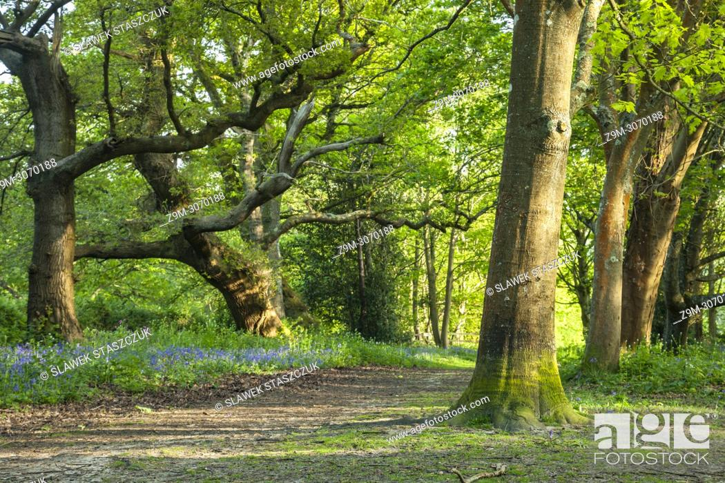 Stock Photo: Spring afternoon in a West Sussex woodland, England.