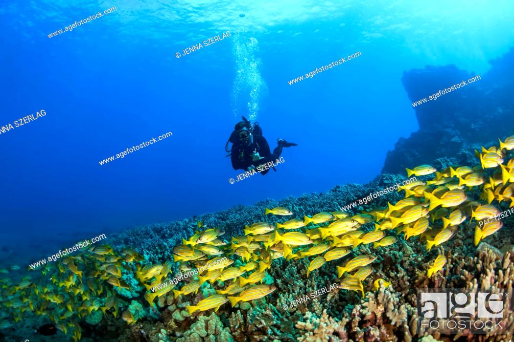 Stock Photo: Scuba diver with a large school of Bluestripe Snappers (Lutjanus kasmira) swimming over healthy reef; Lanai City, Lanai, Hawaii, United States of America.