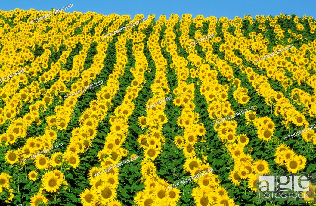 Stock Photo: Sunflower (Helianthus annuus) - Cultivations in the Campiña Cordobesa, the fertile rural area south of the town of Cordoba. In June.