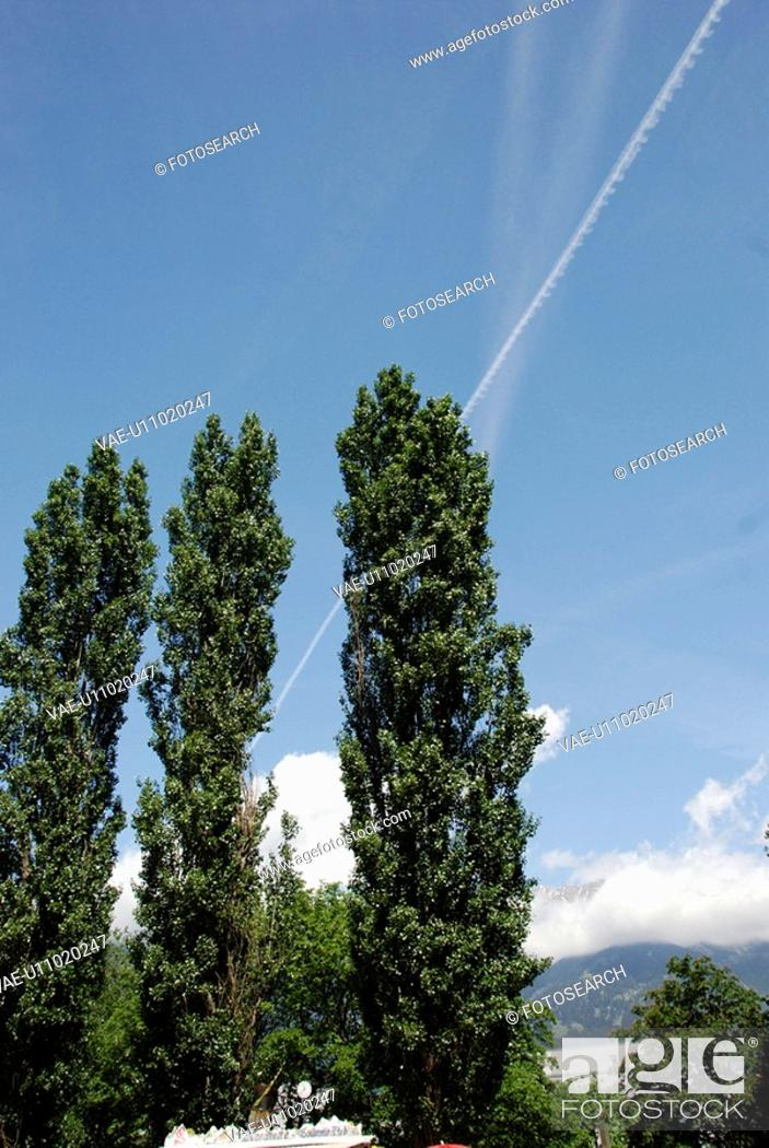 Stock Photo: The Big Tree Of Poplar And The Blue Sky.