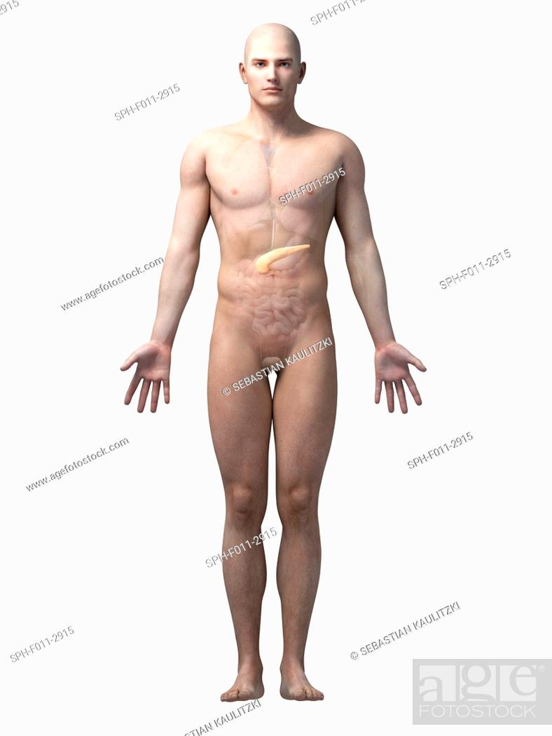 Male Anatomy Computer Illustration Stock Photo Picture And