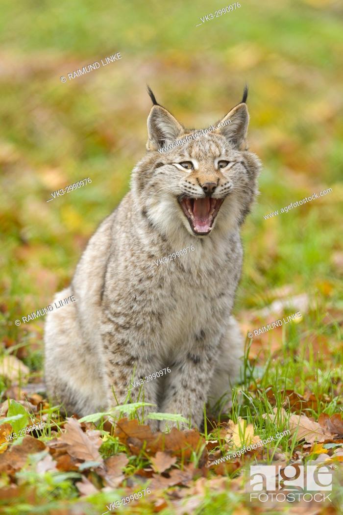 Stock Photo: Eurasian Lynx, Lynx lynx, in Autumn, Germany, Europe.