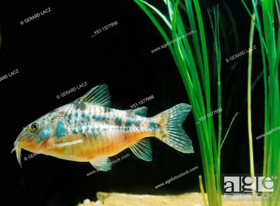 Stock Photo: Bronze Cory or Bronze Catfish, corydoras aeneus.