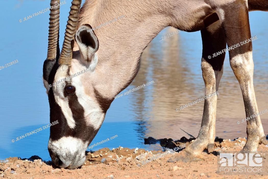 Stock Photo: Gemsbok (Oryx gazella), licking minerals at a waterhole, Kgalagadi Transfrontier Park, Northern Cape, South Africa, Africa.