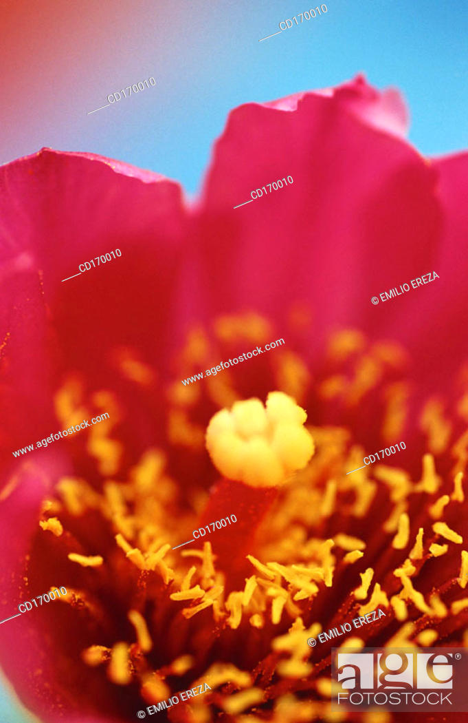 Stock Photo: Opuntia sp.