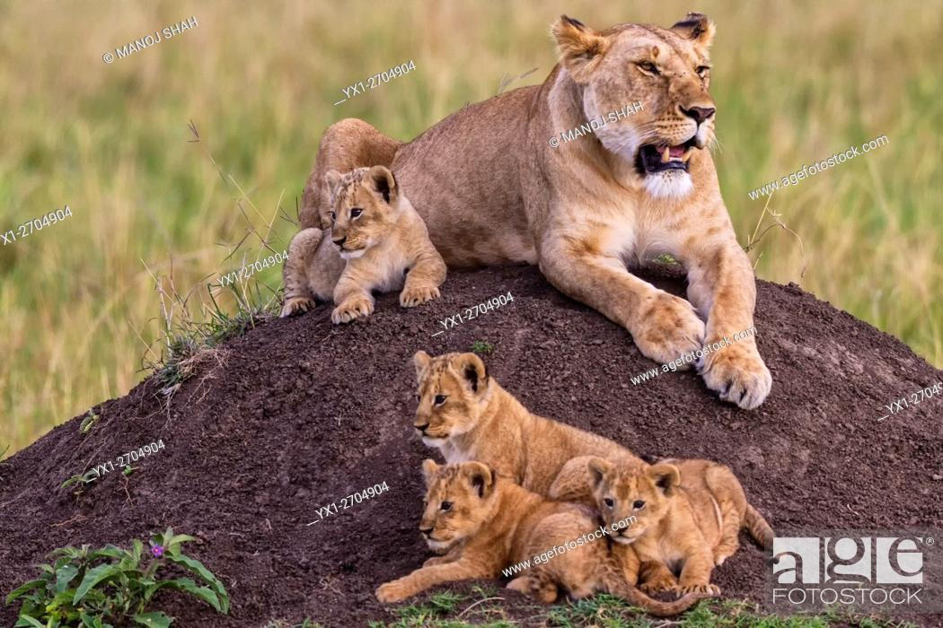 Photo de stock: Lioness with four cubs on an ant hill, Masai Mara National Reserve, Kenya.