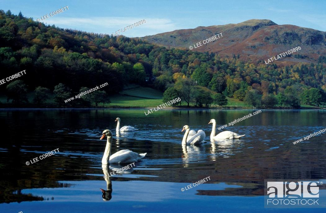 Stock Photo: Lake District national park. Lake. Four swans. Calm water. Reflections. Hills,Silver Howe.