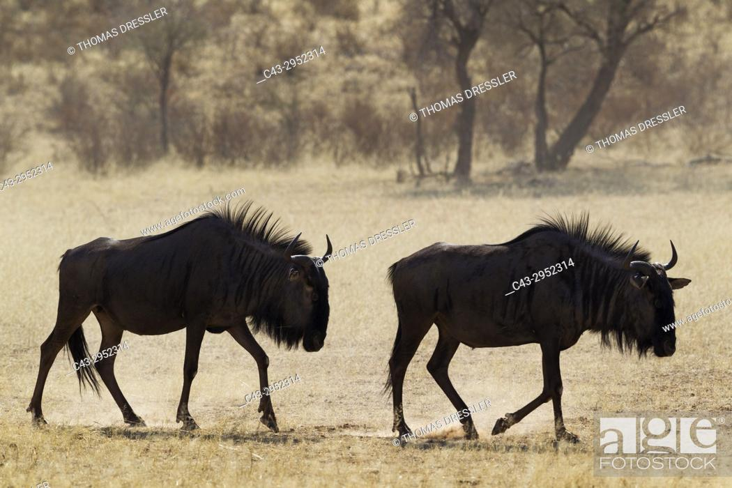 Stock Photo: Blue Wildebeest (Connochaetes taurinus). Roaming in the dry riverbed of the Auob river. Kalahari Desert, Kgalagadi Transfrontier Park, South Africa.