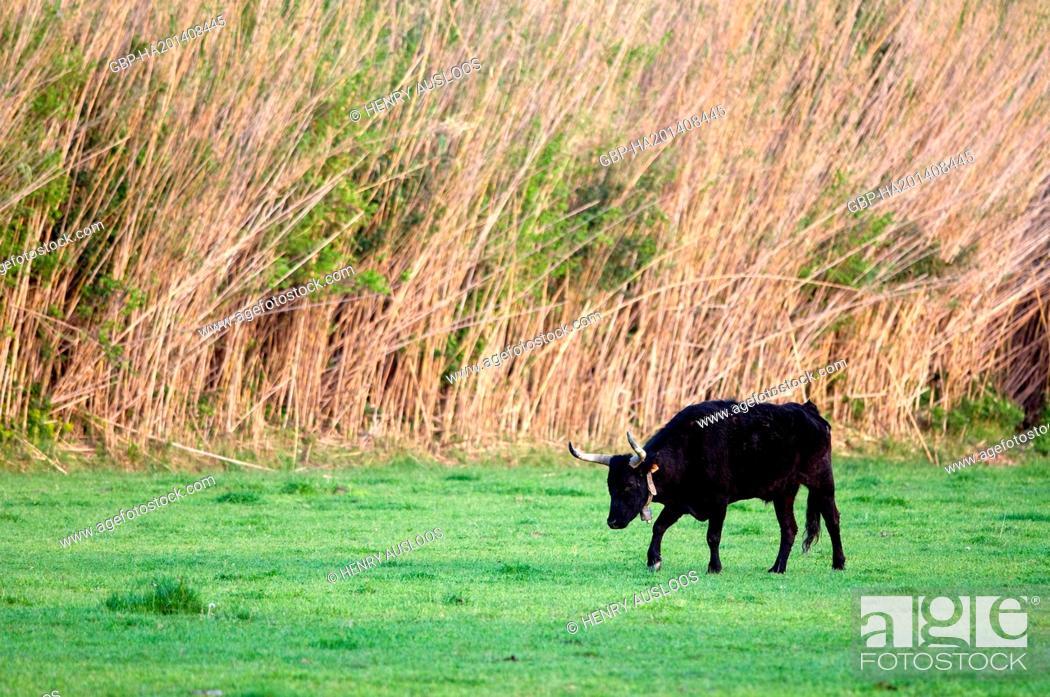 Stock Photo: France, Camargue cattle, bull, Bos taurus, simbiou, Taurus Camargue.