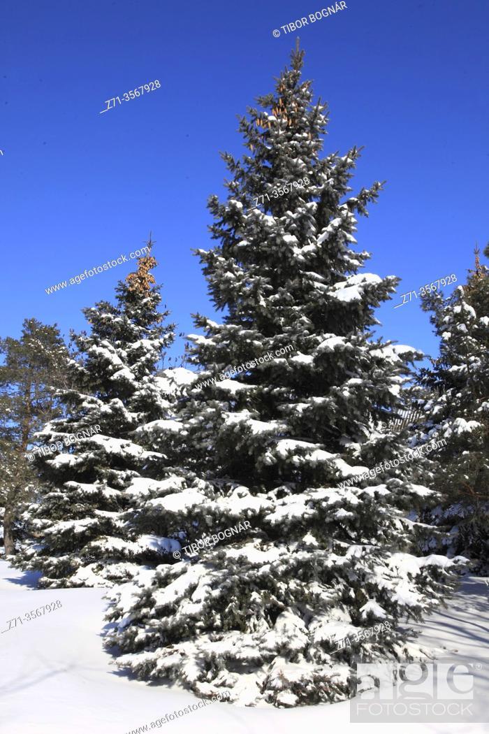 Stock Photo: Canada, Montreal, winter, pine tree, snow, .