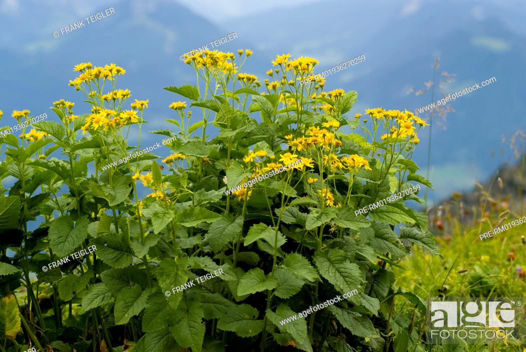 Imagen: Alpine Ragwort, Senecio alpinus / Alpen-Greiskraut, Senecio alpinus.