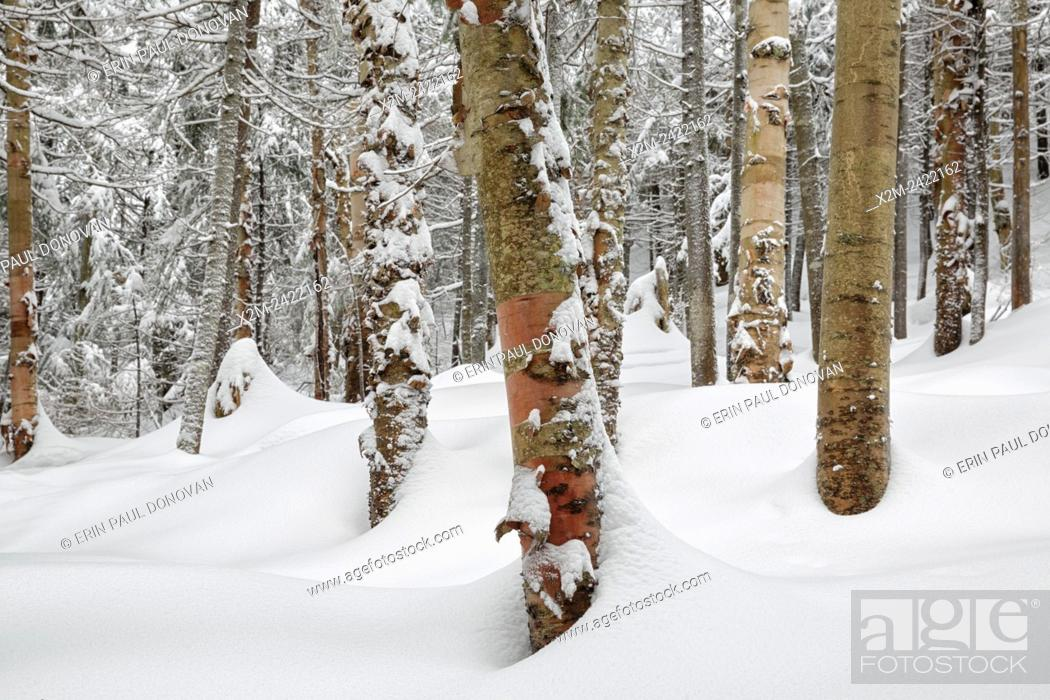 Stock Photo: Forest on the northern slopes of Mount Jim in Kinsman Notch of Woodstock, New Hampshire USA during the winter months.