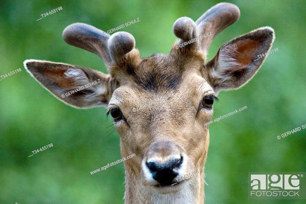 Stock Photo: Fallow Deer (Cervus dama). Schleswig-Holstein, Germany.