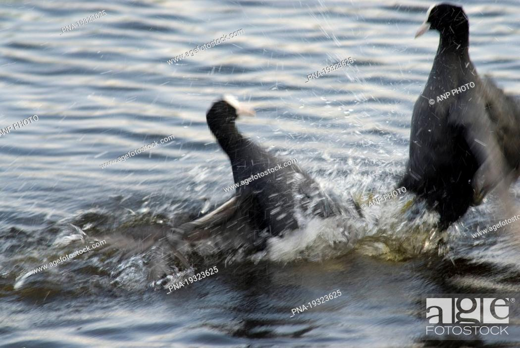 Stock Photo: Common Coot Fulica atra - The Netherlands, Holland, Europe.