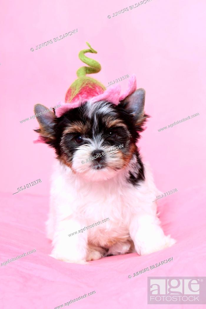 Biewer Terrier Puppy 7 Weeks Old Sitting While Wearing A Flower