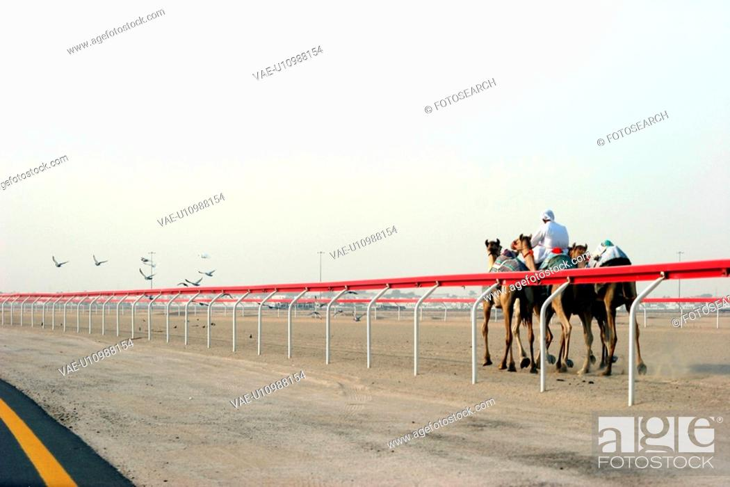 Stock Photo: race, track, camels, dubai.
