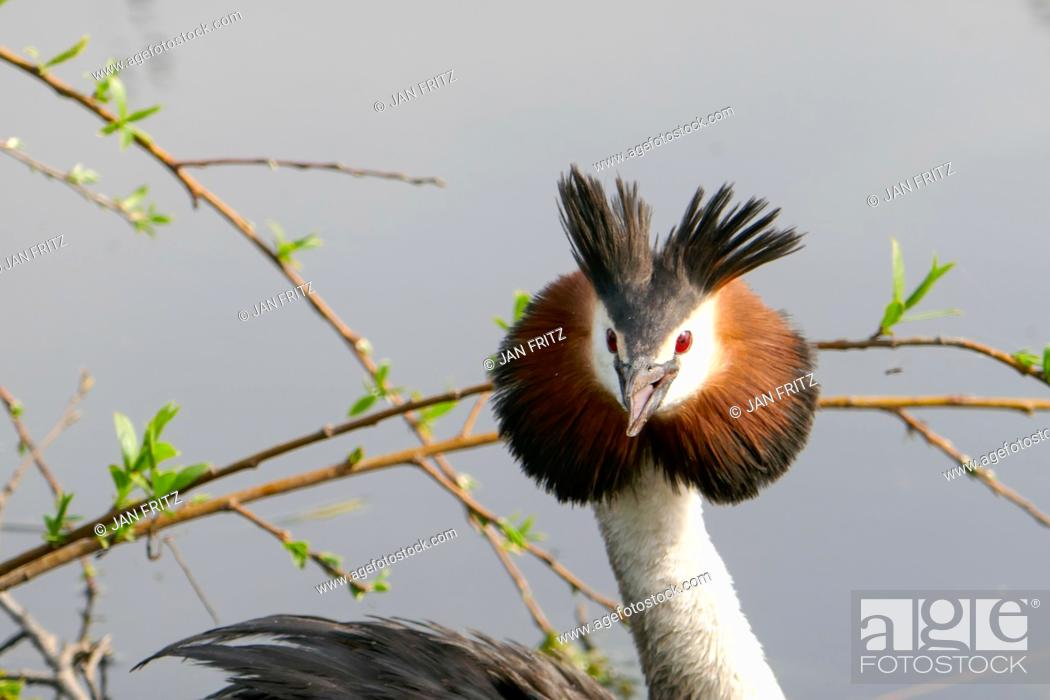 Photo de stock: grebe protecting her nest in Groene Hart in Holland.