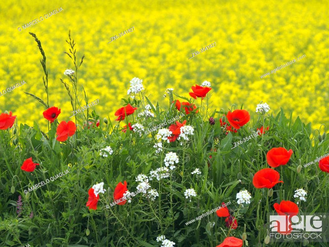 Stock Photo: Poppies at colza plantation. Taradell village countryside. Osona region, Barcelona province, Catalonia, Spain.