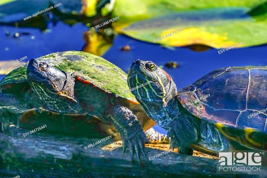 Imagen: Western Painted Turtle Chrysemys picta Green Lily Pads Juanita Bay Park Lake Washington Kirkland Washiington.