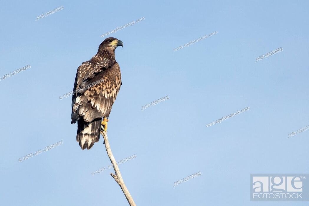 Imagen: White-tailed Eagle (Haliaeetus albicilla) juvenile, perched on a branch, looking over his shoulder at camera, The Netherlands, Overijssel, IJsselmonding.
