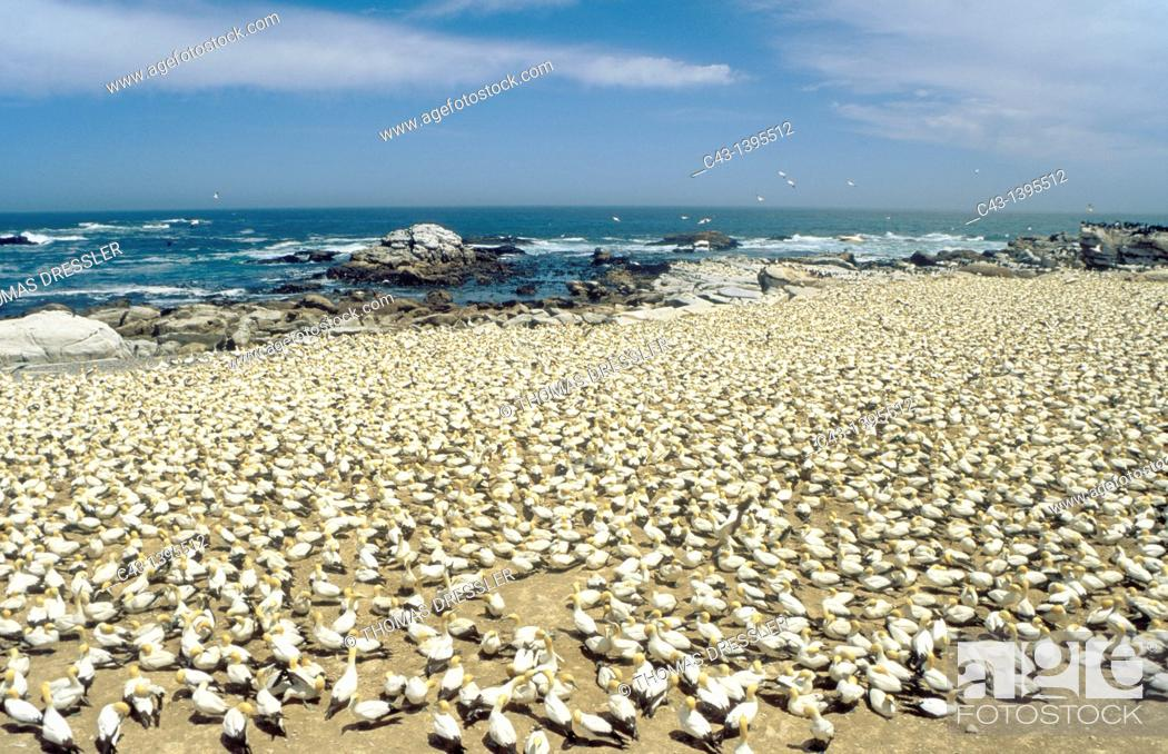 Stock Photo: Cape Gannet Morus capensis - Colony at the Bird Island of Lambert's Bay at the Atlantic Ocean, South Africa.