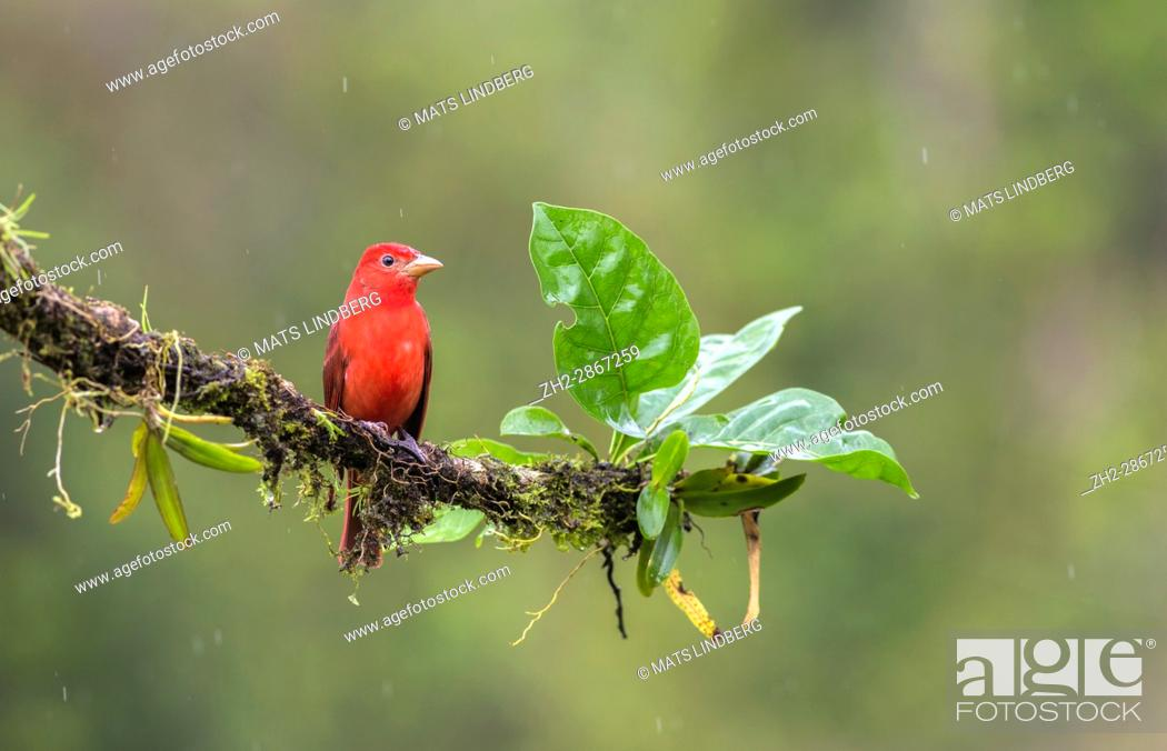 Stock Photo: Summer Tanager, Piranga rubra sitting in a tree at Laguna del Lagarto, Boca Tapada, san Carlos, Costa Rica.