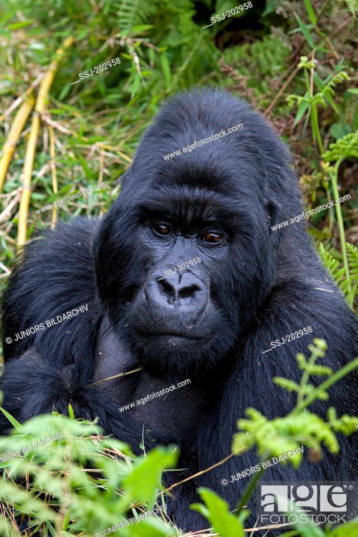 Stock Photo: Mountain Gorilla (Gorilla beringei beringei). Portrait of silverback male. Volcanoes National Park, Rwanda.