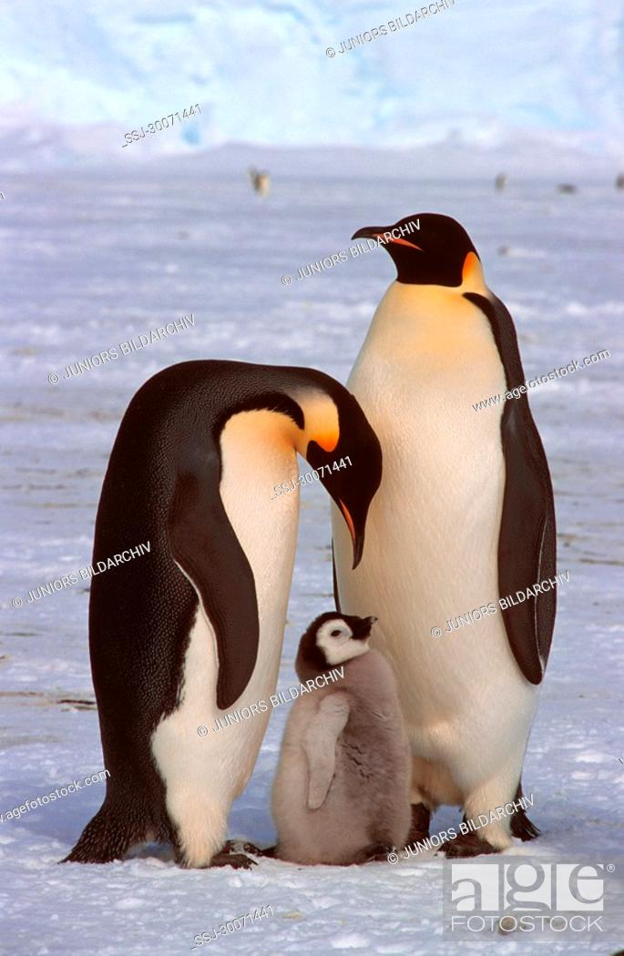 Stock Photo: emperor penguins with pups Aptenodytes forsteri.