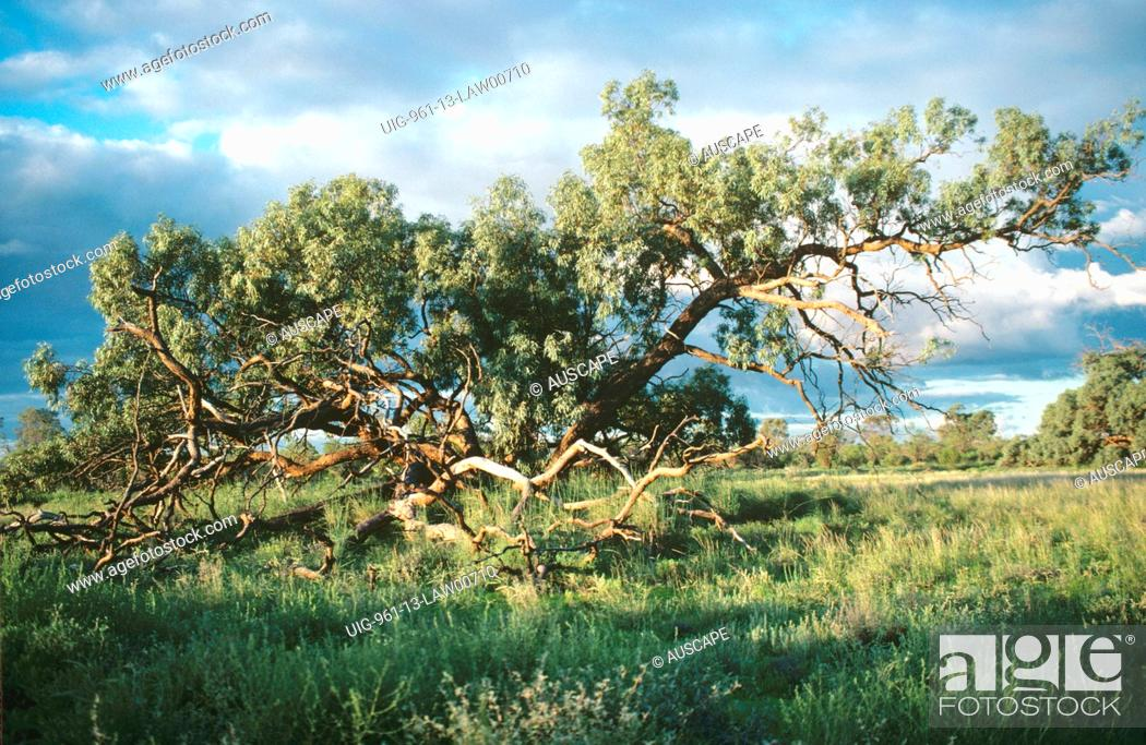 Stock Photo: Black box tree, Nocoleche Nature Reserve, far western plains of New South Wales, Australia.