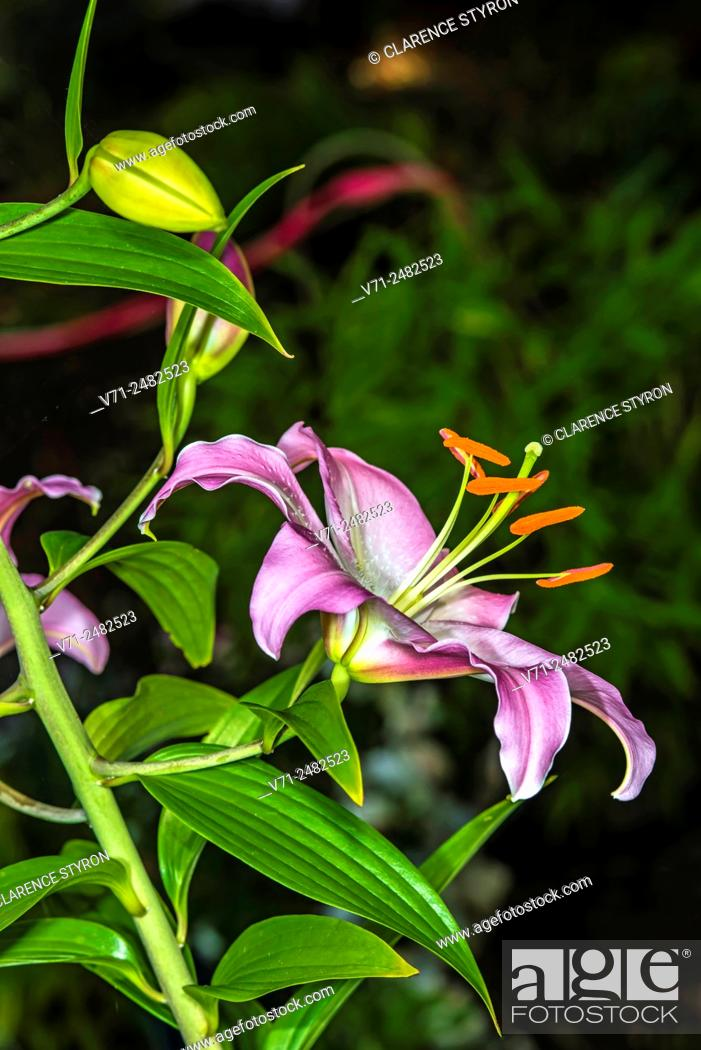 Stock Photo: Lilium sp. Flower at 761 Cormorant Trail, Corolla, NC USA.