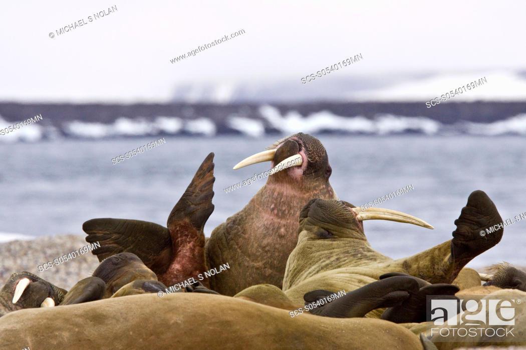 Stock Photo: Adult male walrus Odobenus rosmarus rosmarus at Torellneset, a point on Nordaustlandet Island in the Hinlopenstretet in the Svalbard Archipelago in the Barents.