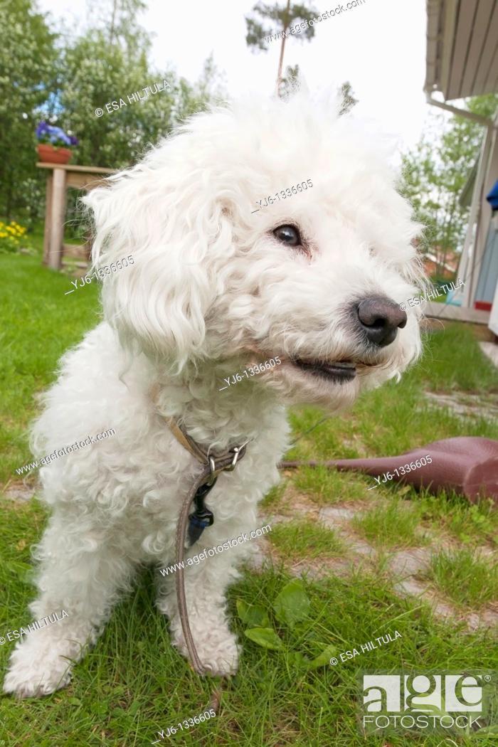 Stock Photo: Bichon Frise dog.