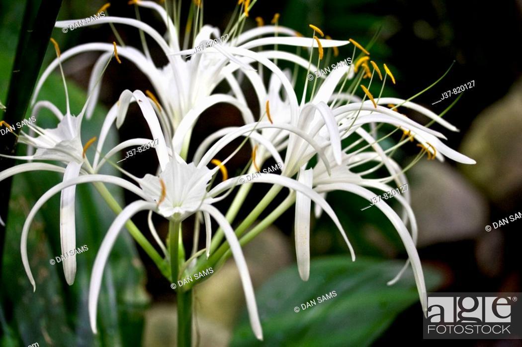 Stock Photo: Spide lily Hymenocallis caribea.
