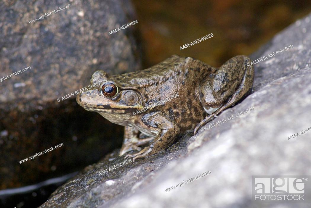 Stock Photo: Mink Frog (Rana septentrionalis) Boundary Waters Canoe Area Wilderness, Lake County, MN.