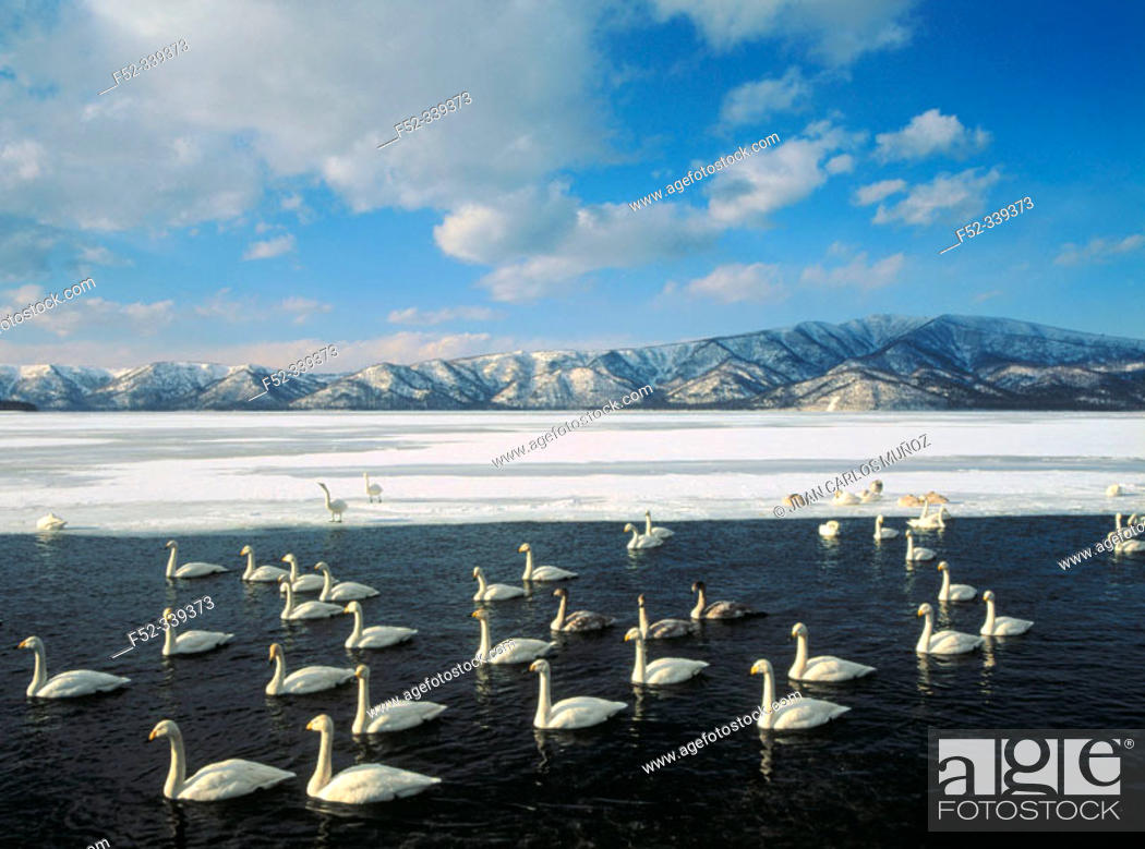 Stock Photo: Whooper Swan (Cygnus cygnus) on Kushiro wetlands. Hokkaido, USA.