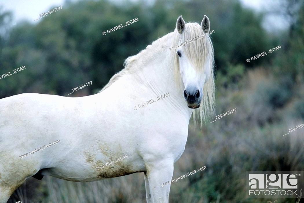 Stock Photo: Camargue horse Equus caballus.