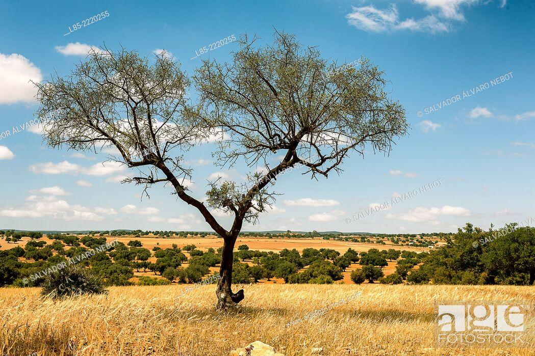 Stock Photo: Tree Argan, Argan Valley, Essaouira, Morocco, Africa.