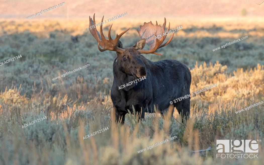 Stock Photo: Bull Shiras Moose (Alces alces sherasi), standing in autumn scrubland at Grand Teton National Park, Wyoming.