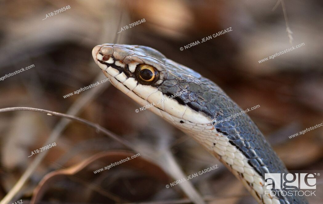 Stock Photo: Sonoran whipsnake, (Coluber bilineatus), Gardner Canyon, Santa Rita Mountains, Coronado National Forest, Sonoita, Arizona, USA.