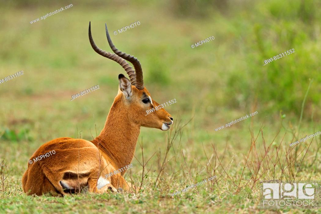 Stock Photo: impala (Aepyceros melampus), buck lying in a meadow, South Africa, Krueger National Park.
