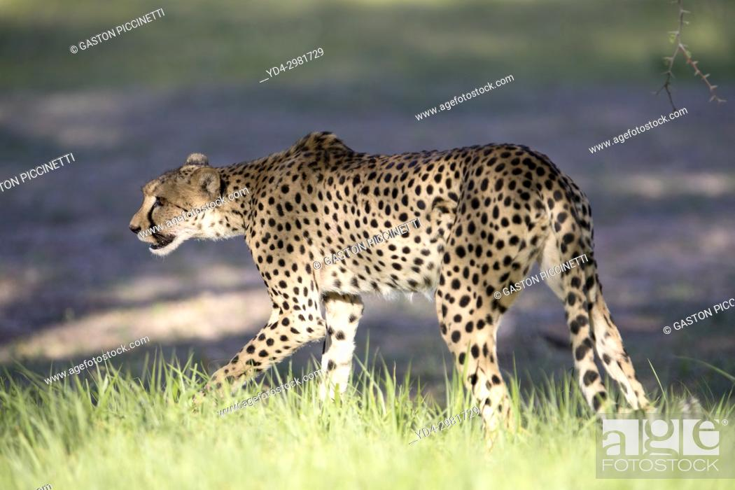 Stock Photo: Cheetah (Acinonyx jubatus), Kgalagadi Transfrontier Park, Kalahari desert, South Africa/Botswana.