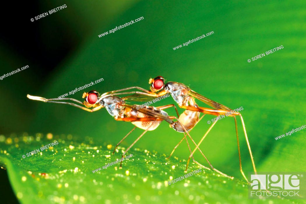 Stock Photo: Mating long-legged flies of the fly family Dolichopodidae on big green leaf of lily in damp forest in Thailand, Southeast Asia.