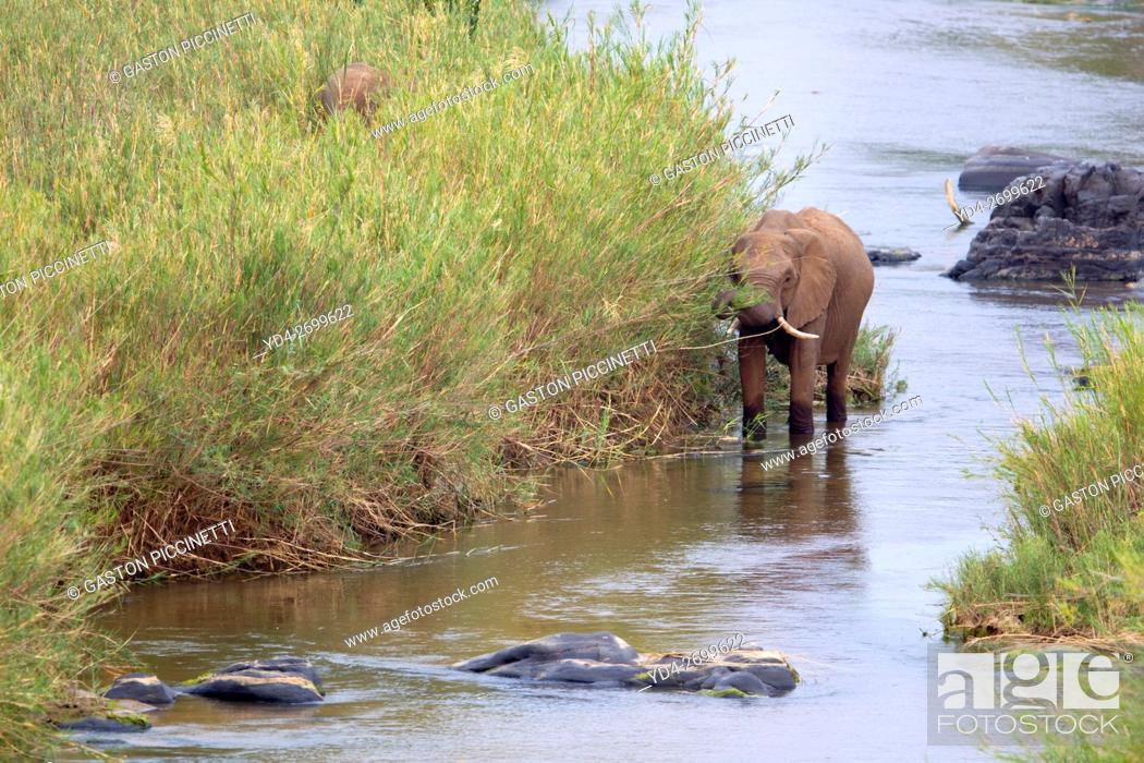 Stock Photo: African Elephant (Loxodonta africana), eating reeds in the river, Kruger National Park, South Africa. The Common Reeds (Phragmites australis) are found in.