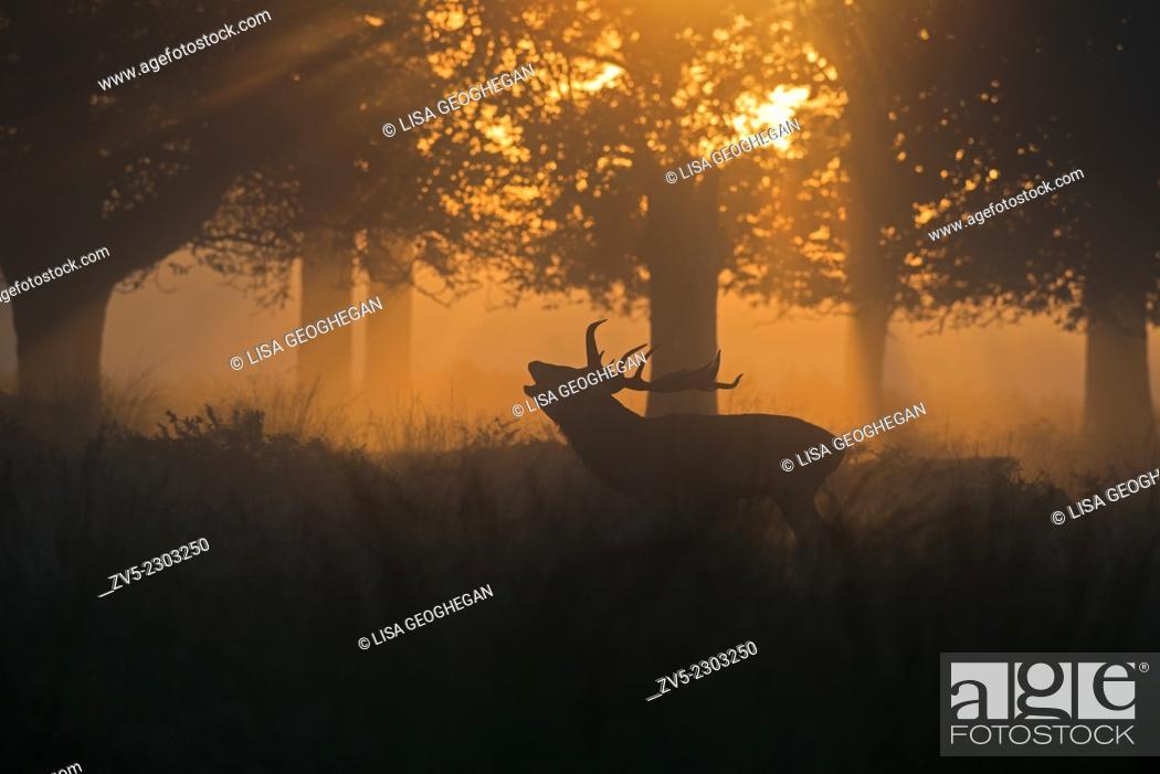 Imagen: Male Red Deer (Stag)- Cervus elaphus, bellowing at sunrise during the rutting season. Uk.