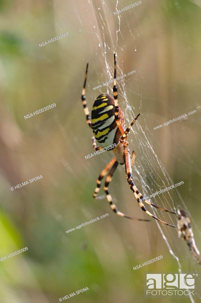 Stock Photo: wasp spider, zebra spider - spider of the year 2001.