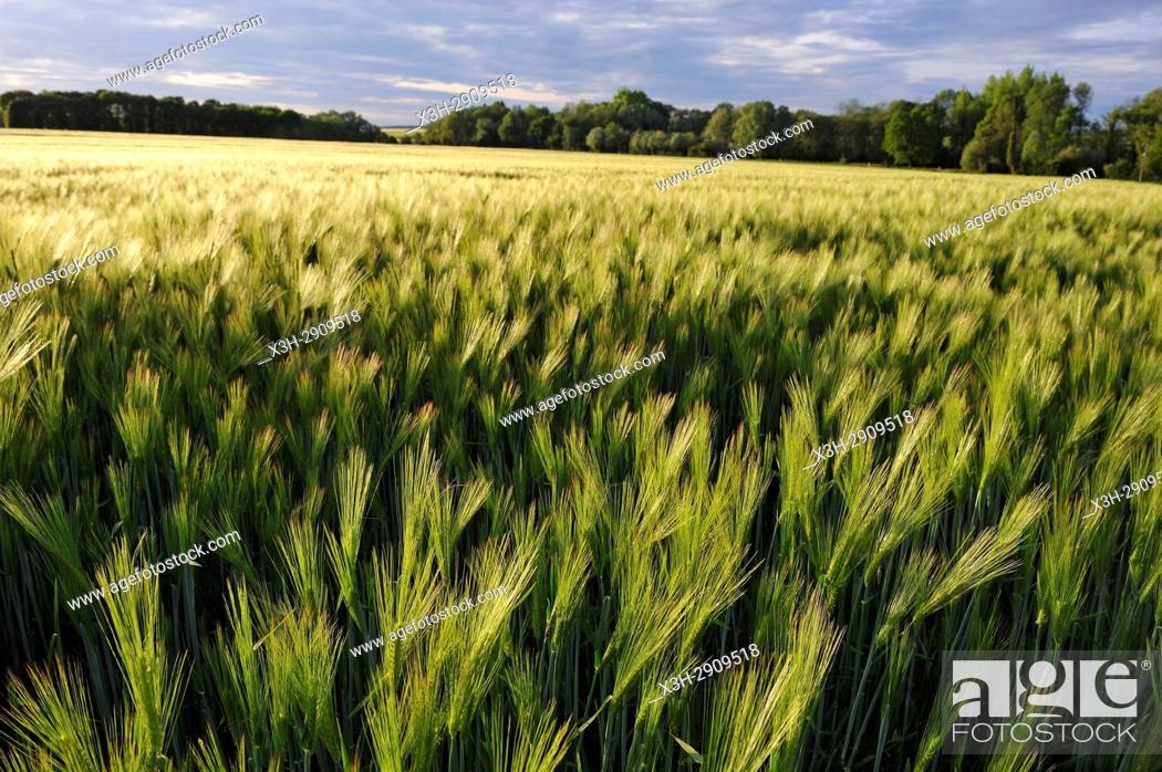 Imagen: barley field, Eure-et-Loir department, Centre-Val de Loire region, France, Europe.