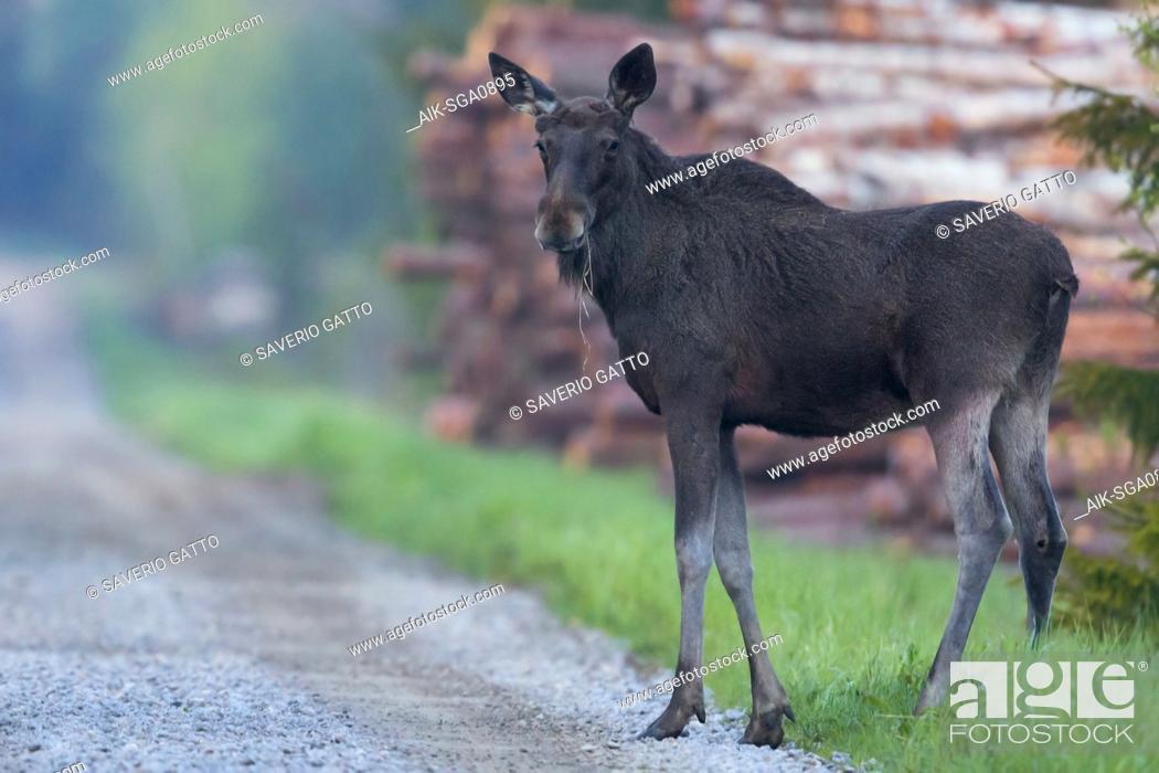 Stock Photo: Elk (Alces alces), standing roadside, Pyhäjoki, Northern Ostrobothnia, Finland.
