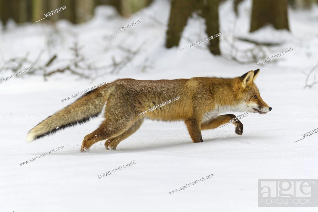 Stock Photo: Red Fox, vulpes vulpes, in winter.