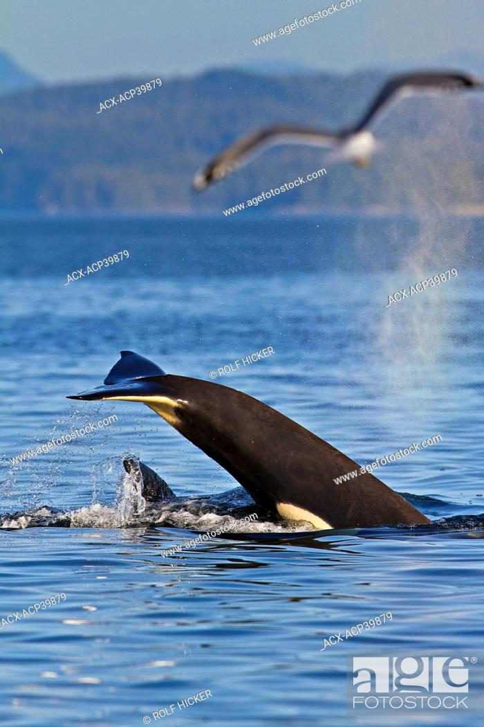 Stock Photo: Killer Whale Orcinus orca off Malcolm Island near Donegal Head, in the Queen Charlotte Strait, British Columbia, Canada.