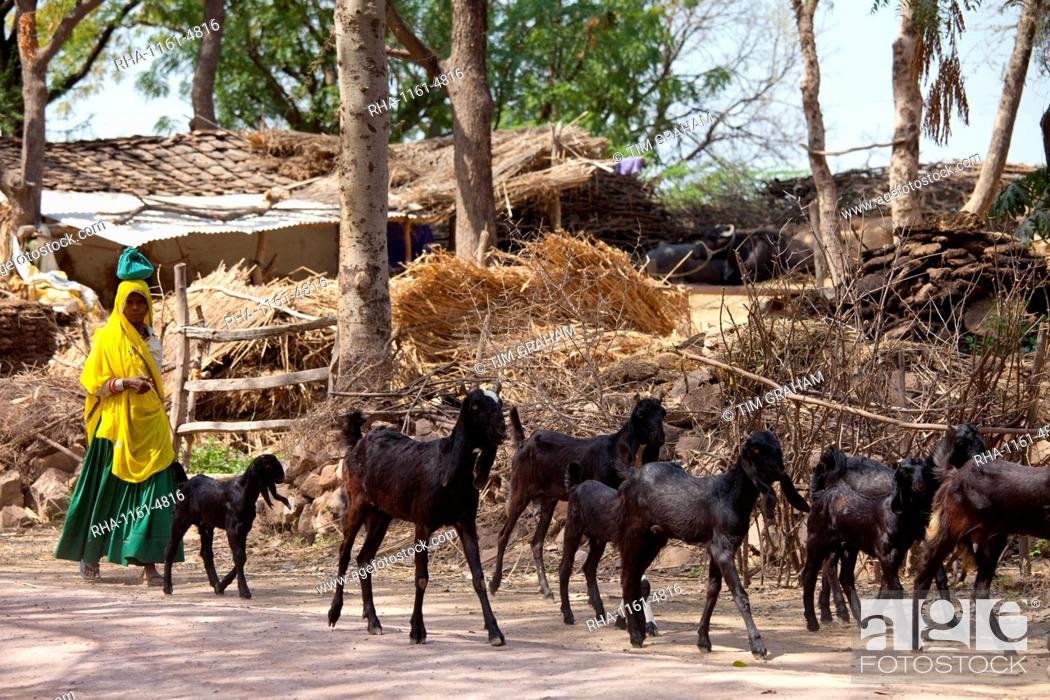 Indian woman with herd of goats at farm smallholding at